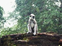 Langur in the ruins of Polonnaruwa Royalty Free Stock Image