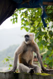 Langur. A langur sits on a wall near a river in Rishikesh Stock Image
