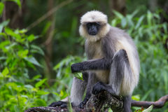 Langur sitting on a branch. Langur sitting on a dry wood on a rainy day Stock Photography