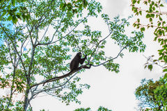 Langur sitting on tree branch Stock Images
