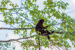 Langur sitting on tree branch Royalty Free Stock Images