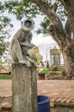Langur in Sri Lanka Lizenzfreies Stockbild