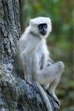 Langur Tarai серый сидя на дне дерева Стоковая Фотография