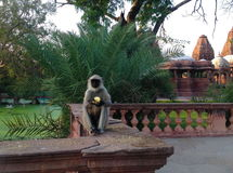 Langur in tempio di Jodhpur Immagini Stock Libere da Diritti