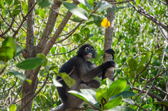 Langur on a tree Royalty Free Stock Photo