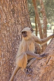 Langur on a tree Royalty Free Stock Photos