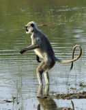 Langur in water Royalty Free Stock Images