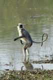 Langur in water Stock Images