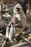 Langur y su bebé. Foto de archivo libre de regalías