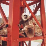 Languraap bij brugingang in Rishikesh India stock foto's