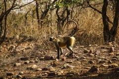 Langurpresbytis av guld- färg i nationalpark nära Khajura royaltyfri fotografi