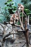 Langurs чёрного дерева Стоковое Изображение
