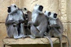 Langurs di Hanuman Fotografia Stock Libera da Diritti