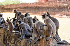 Langurs Royalty Free Stock Images