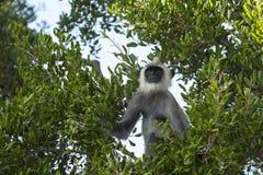 Langurs grigi in un albero immagini stock libere da diritti