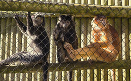 Langurs mis en cage de Javan également connus sous le nom de lutung image stock