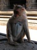 Langurs Presbytis-entellus herein, Hampi, Karnataka, Indien Stockfotografie