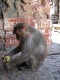 Langurs Presbytis-entellus herein, Hampi, Karnataka, Indien Lizenzfreies Stockbild