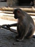 Langurs Presbytis-entellus herein, Hampi, Karnataka, Indien Stockfotos