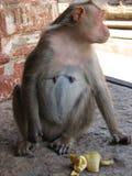 Langurs Presbytis-entellus herein, Hampi, Karnataka, Indien Lizenzfreie Stockfotografie