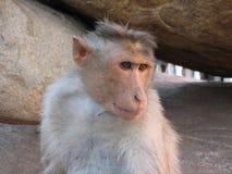 Langurs Presbytis-entellus herein, Hampi, Karnataka, Indien Lizenzfreie Stockbilder