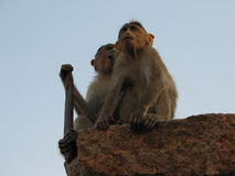 Langurs Presbytis-entellus herein, Hampi, Karnataka, Indien Lizenzfreies Stockfoto