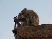 Langurs Presbytis-entellus herein, Hampi, Karnataka, Indien Stockbild