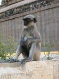 Langurs Presbytis-entellus herein, Karnataka, Indien Lizenzfreie Stockfotos