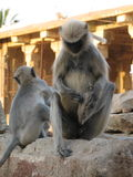 Langurs Presbytis-entellus herein, Karnataka, Indien Lizenzfreie Stockbilder
