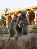 Langurs Presbytis-entellus herein, Karnataka, Indien Lizenzfreie Stockfotografie
