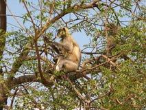 Langurs Presbytis-entellus herein, Karnataka, Indien Stockbild