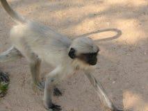 Langurs Presbytis-entellus herein, Karnataka, Indien Lizenzfreies Stockfoto