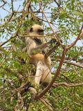Langurs Presbytis-entellus herein, Karnataka, Indien Stockbilder