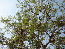 Langurs Presbytis-entellus herein, Karnataka, Indien Lizenzfreies Stockbild