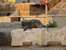 Langurs Presbytis-entellus herein, Karnataka, Indien Stockfotos