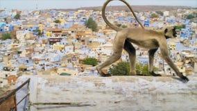 Langurs que vivem na cidade Os povos aqui associam langurs com o senhor hindu Hanuman do deus e honrar-los, Jodhpur, Índia fotos de stock royalty free