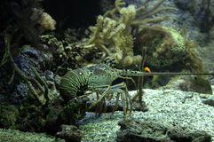 Crayfish. Underwater royalty free stock photography