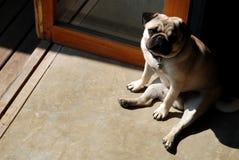 Langweiliger Pug Lizenzfreie Stockfotografie