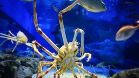 Langzaam beklimt de bodem dichte omhooggaande mening van rode krab stock videobeelden