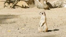 LANGZAAM: Meerkatwacht op een zand stock footage