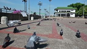 Langzaam motieschot van het achtervolgen van de duivenvlieg van de vogelsstraat vanaf camera stock video