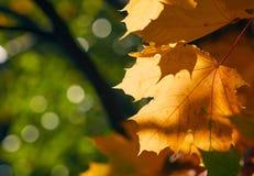 Langzaam verdwenen de herfstbladeren van esdoornboom in direct zonlicht in daling Royalty-vrije Stock Afbeeldingen