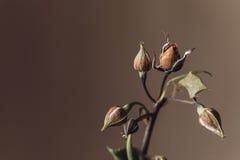 Langzaam verdwenen droevig nam de macro van het bloemclose-up toe Royalty-vrije Stock Fotografie