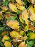 Langzaam verdwenen geelgroene installatiebladeren in de herfst Stock Foto