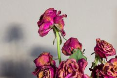 Langzaam verdwenen roze rozen Royalty-vrije Stock Foto
