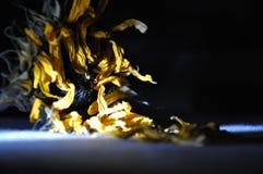 Langzaam verdwenen zonnebloem in dark stock fotografie