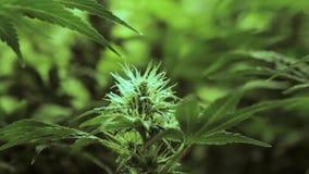 Langzame beweging rond vroeg stadium die vrouwelijke marihuanainstallatie bloeien stock videobeelden