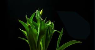 Langzame de bloembloei van de motie gele tulp op een zwarte achtergrond, stock video
