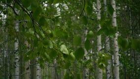 Langzame mo Berk bostakken met bladeren stock videobeelden