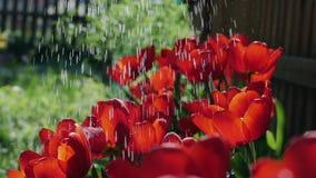 Langzame motie die rode tulpen in de tuin water geven stock video